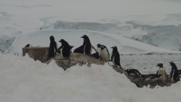 Gentoo Penguins at Neko Harbour